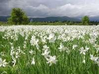 Virágzik a nárciszmező - Nárcisznap lesz Babócsán
